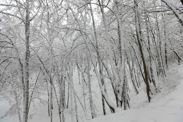 Die bäume sind nach frösten und schneefällen mit schnee bedeckt, eine große anzahl kahler laubbäume in der wintersaison, schneeverwehungen im park oder winterwald, es werden fußspuren im schnee sein