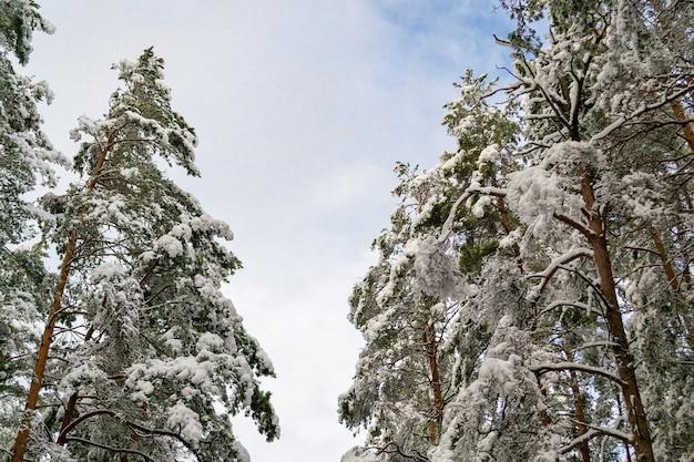 Die baumkronen im schnee an einem sonnigen tag an den seiten und der himmel in der mitte. winterlandschaft in lettland.