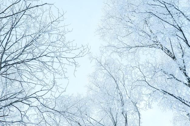 Die baumkronen im schnee und frost. gefriertag.