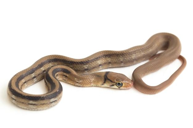 Die bestrahlte kupferkopf-rattenschlange isoliert auf weiß