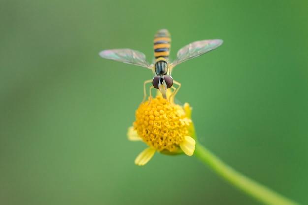 Die biene ist auf dem blütenstaub der gelben blume