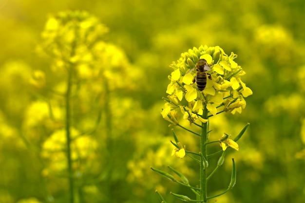 Die biene sammelt den nektar auf den senfblumen auf dem feld