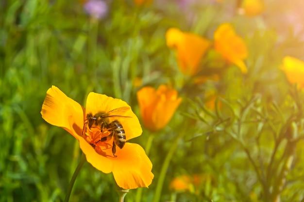 Die biene sammelt honig von der gelben blume