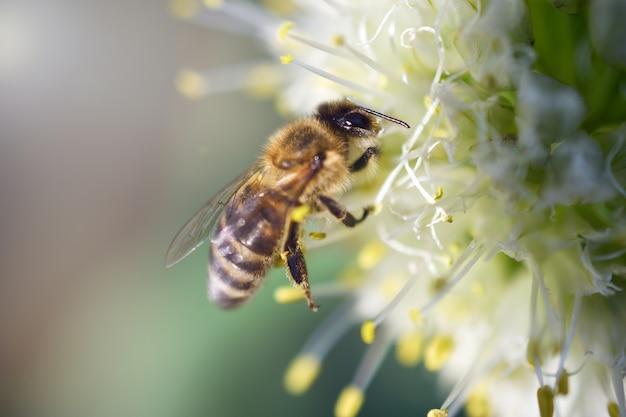 Die biene sammelt nektar auf einer blume der weißen zwiebel. die sammlung von nektar. honigernte. makrofoto