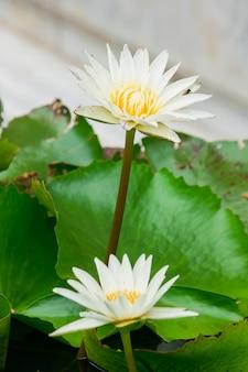 Die bienen sind in der purpurroten lotosblüte und saugen den nektar, blütenstaub.