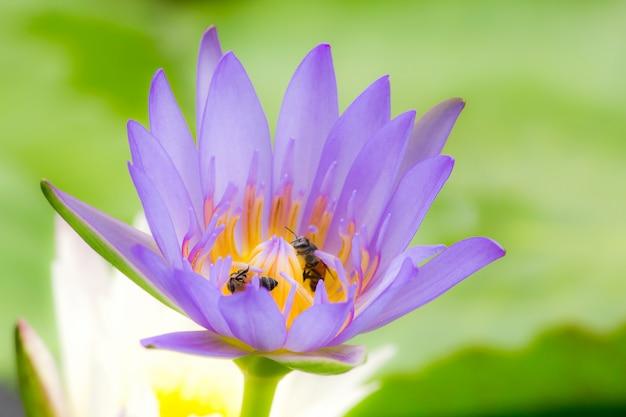 Die bienen sind in der purpurroten lotosblüte und saugen den nektar, blütenstaub