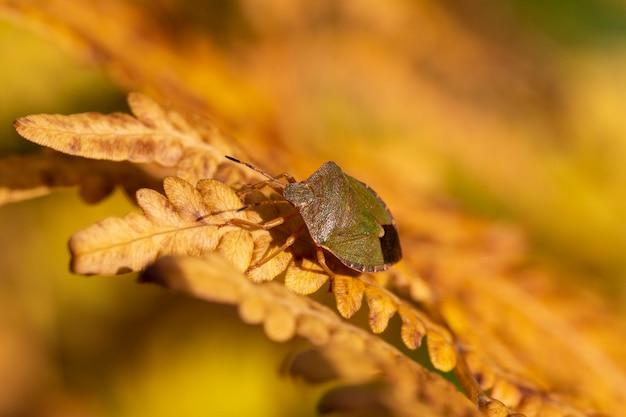 Die birken-schildwanze elasmostethus interstinctus ist eine art von schildwanze in der familie der acanthosomatidae. goldener herbsthintergrund, käfer, der auf einem gelben farnblatt sitzt, makro.
