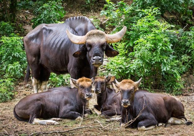 Die bisonfamilie in natürlicher atmosphäre.