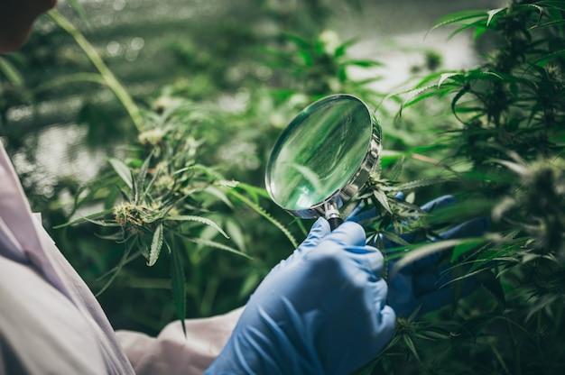 Die blätter und blüten des cannabis, hanfkraut im labor