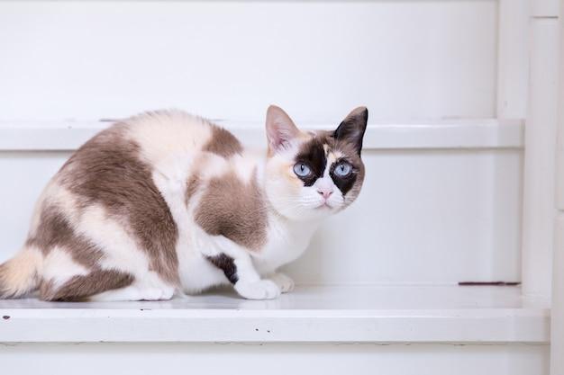 Die blauäugige thailändische katze, die auf haustreppe liegt, betrachten kamera.