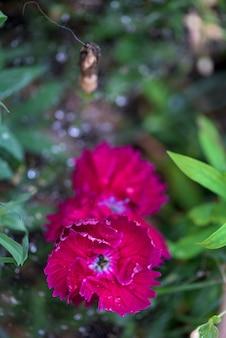 Die blüten sind nelken im blumenbeet in tautropfen auf blütenblättern. nahansicht