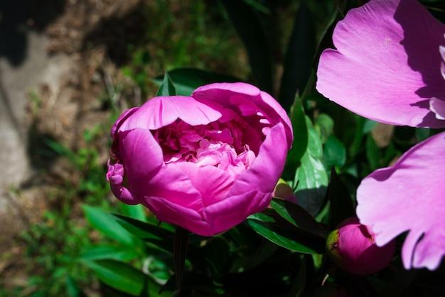 Die blume des peon, der in einem sommergarten wächst.
