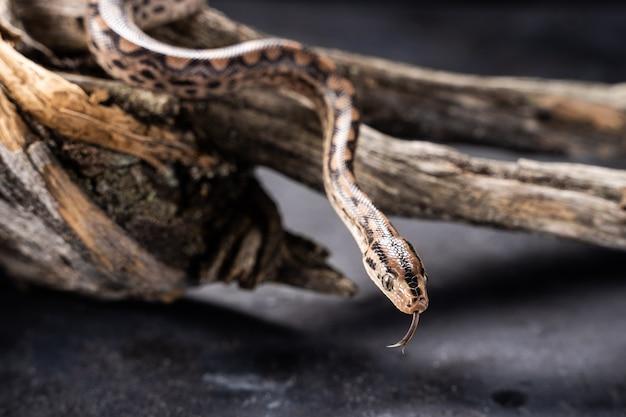 Die boa constrictor (boa constrictor), auch rotschwanz- oder gemeine boa genannt, auf einem ast mitten im wald. eine große schlange auf einem ast im grün eines hellen waldes.