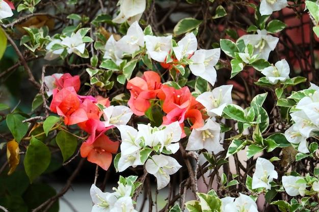 Die bouganvillablume, die im garten blüht, verwischen grünblätter