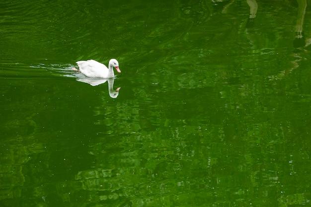 Die brasilianische call duck ist eine zwergente domestizierter ente, die hauptsächlich zur dekoration oder als haustiere gezüchtet wird. rufenten sehen einigen anderen entenrassen ähnlich, sind jedoch kleiner.