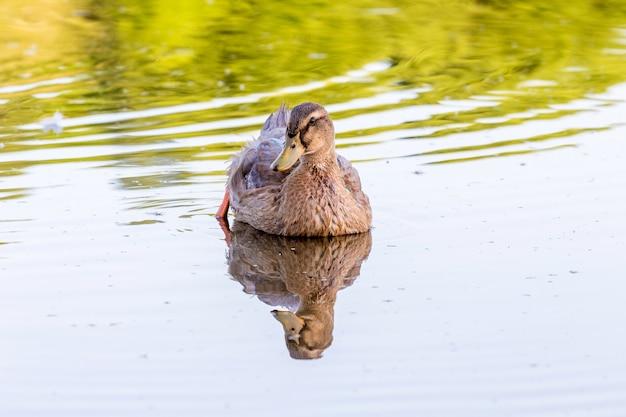 Die braune ente schwimmt bei sonnigem wetter am wasser des flusses entlang
