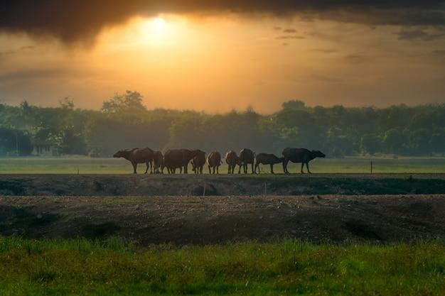 Die büffel gingen abends in form zurück.