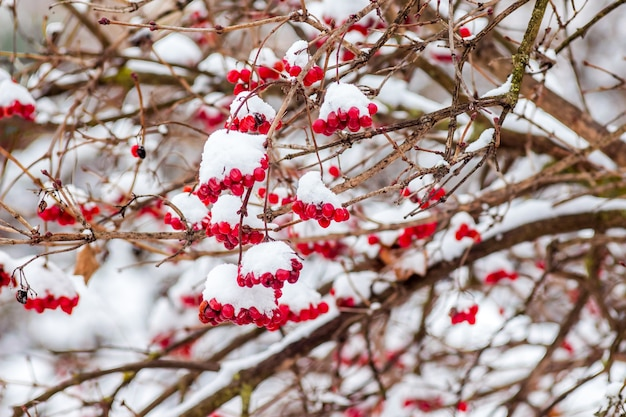 Die büschel von guelder stiegen unter schneebedeckten , im winter während des schneefalls_