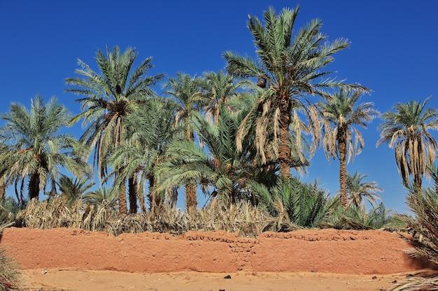 Die dattelpalme in der verlassenen stadt timimun in der sahara, algerien