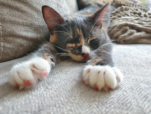 Die dreifarbige katze schläft mit ausgestreckten weißen pfoten, ein graues kätzchen schläft auf der couch.