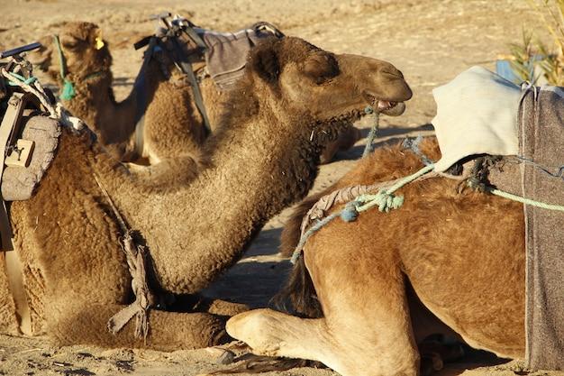 Die dromedare ruhen auf dem boden der merzouga-wüste. marokko