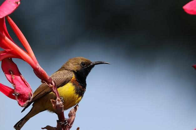 Die einsamkeit des kleinen vogels sunbird, die an niederlassung der roten blume hält, fühlen sich vor dem regnerischen blau