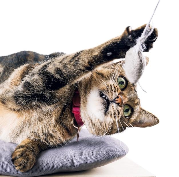 Die entzückende bengalkatze liegt auf einem weichen kissen und spielt mit einer spielzeugmaus.