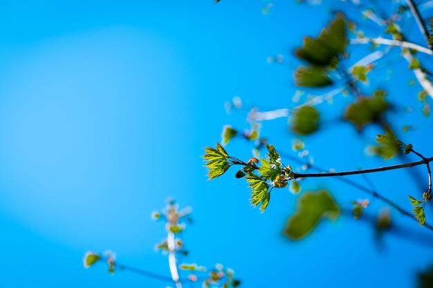 Die ersten blätter der bäume. zweig des baumes mit den ersten grünen blättern und den knospen gegen blauen himmel.