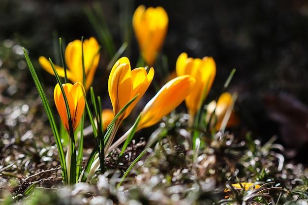 Die ersten gelben krokusse im frühlingsgarten