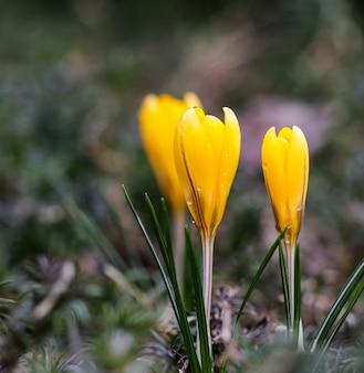 Die ersten gelben krokusse mit regentropfen im frühlingsgarten