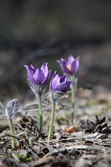 Die ersten lila blüten des frühlings von schneeglöckchen (pulsatilla patens) vor einem verschwommenen hintergrund.