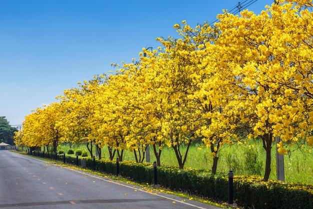 Die fahrradspurstraße im baum der goldenen trompete am park herein auf blauem himmel