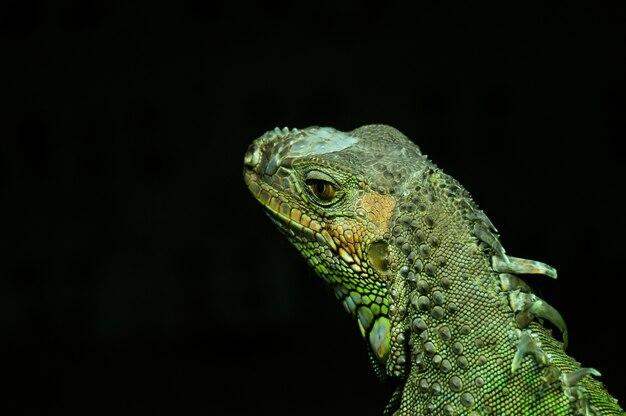 Die familie agamidae ist eine von drei familien, die zum infraorder iguania gehören