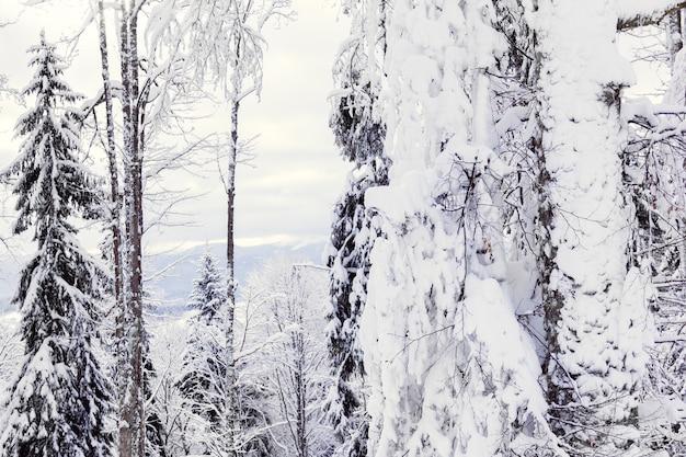 Die fichten im winter