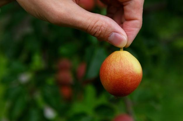 Die finger halten die birne am schwanz vor dem hintergrund eines baumes mit birnen