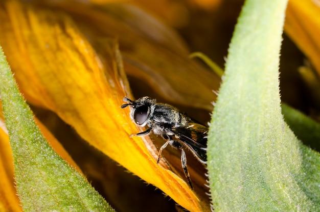 Die fliege versteckt sich auf einer gelben blumensonnenblume