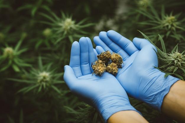 Die forscher halten oder untersuchen cannabispflanzen mit der hand im gewächshaus für medizinische forschung. marihuana sativa forschungskonzept. cbd-öl, kräutermedizin