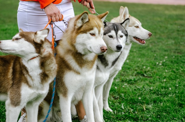 Die frau brachte ihre husky-rasse für einen spaziergang mit.