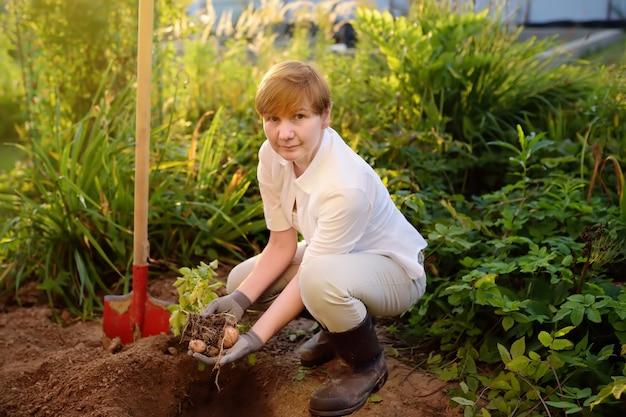 Die frau, die in den stiefeln beschuht wird, gräbt kartoffeln in ihrem garten.