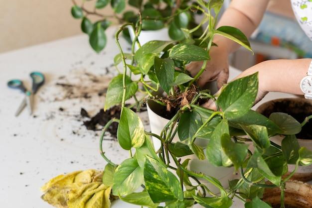 Die frau hände halten eine pflanze und legen sie in den topf, hobby leidenschaft konzept