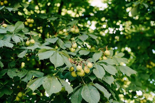 Die frucht der rosskastanie auf den zweigen der kugelförmigen baumkisten mit stacheln
