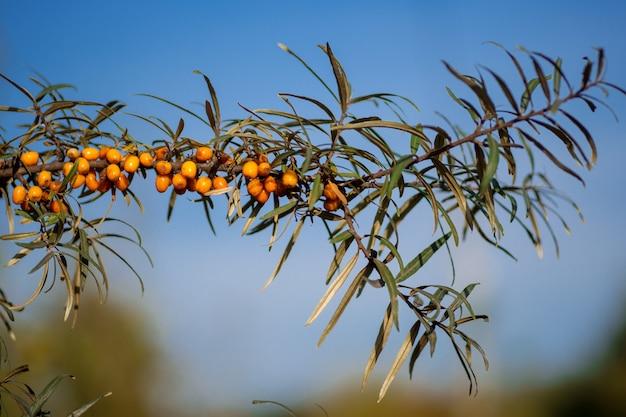Die frucht des sanddornbaums