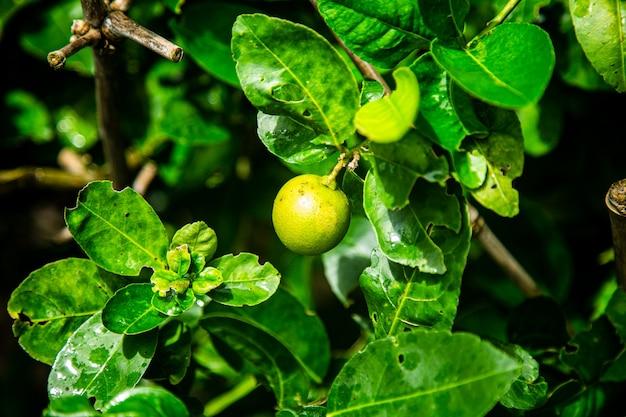 Die frucht des wachsenden zitronenbaums