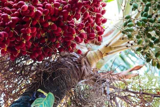 Die früchte von palmen.