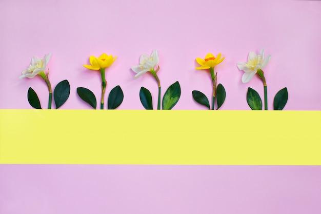 Die frühlingszusammensetzung, die mit narzisse gemacht wird, blüht auf rosa hintergrund