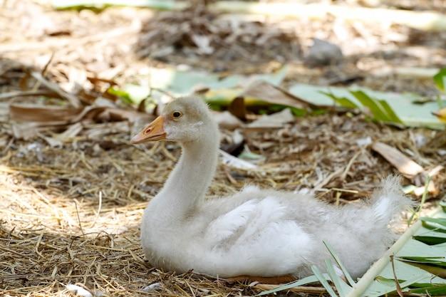 Die gänsebabys setzen sich und ruhen sich im sommer im bauerngarten in thailand aus