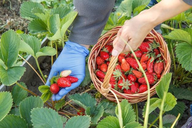 Die gärtnerin pflückt frische rote reife erdbeeren auf dem bett und legt sie in einen weidenkorb. sommerernte von frischen beeren im garten