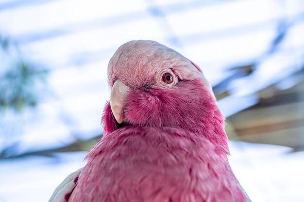 Die gala (eolophus roseicapilla), auch als rosa und grau bekannt, ist eine der häufigsten und am weitesten verbreiteten kakadus.