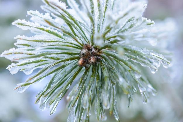 Die gefrorenen eiströpfchen auf tannennadeln. makrofoto, geringe schärfentiefe. winterwald.