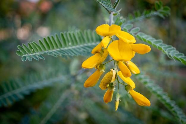 Die gelbe sesbania-blütenblume kann zur herstellung von speisen und desserts verwendet werden